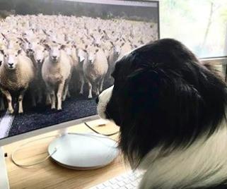 dog working